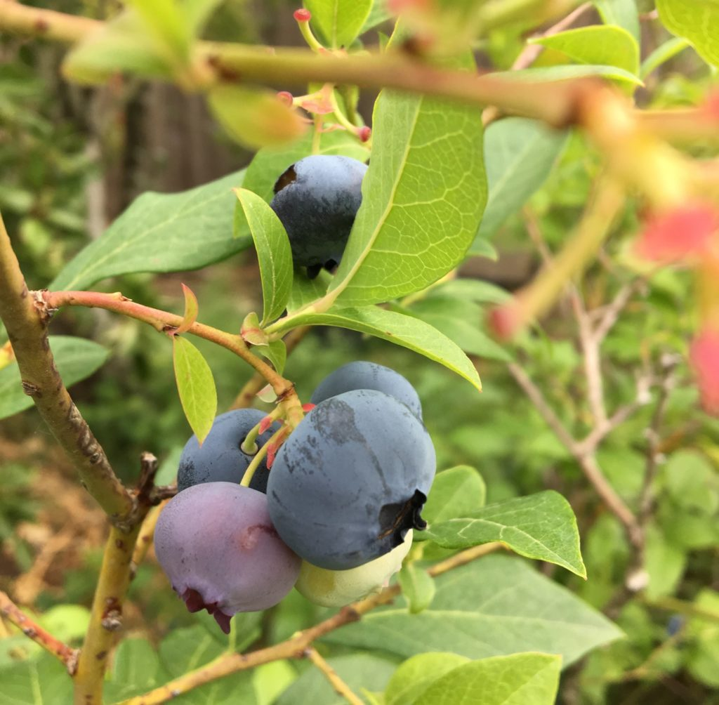 Blueberries ready to pick
